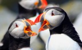 best-bird-watching-puffins