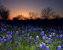 texas-blue-bonnets